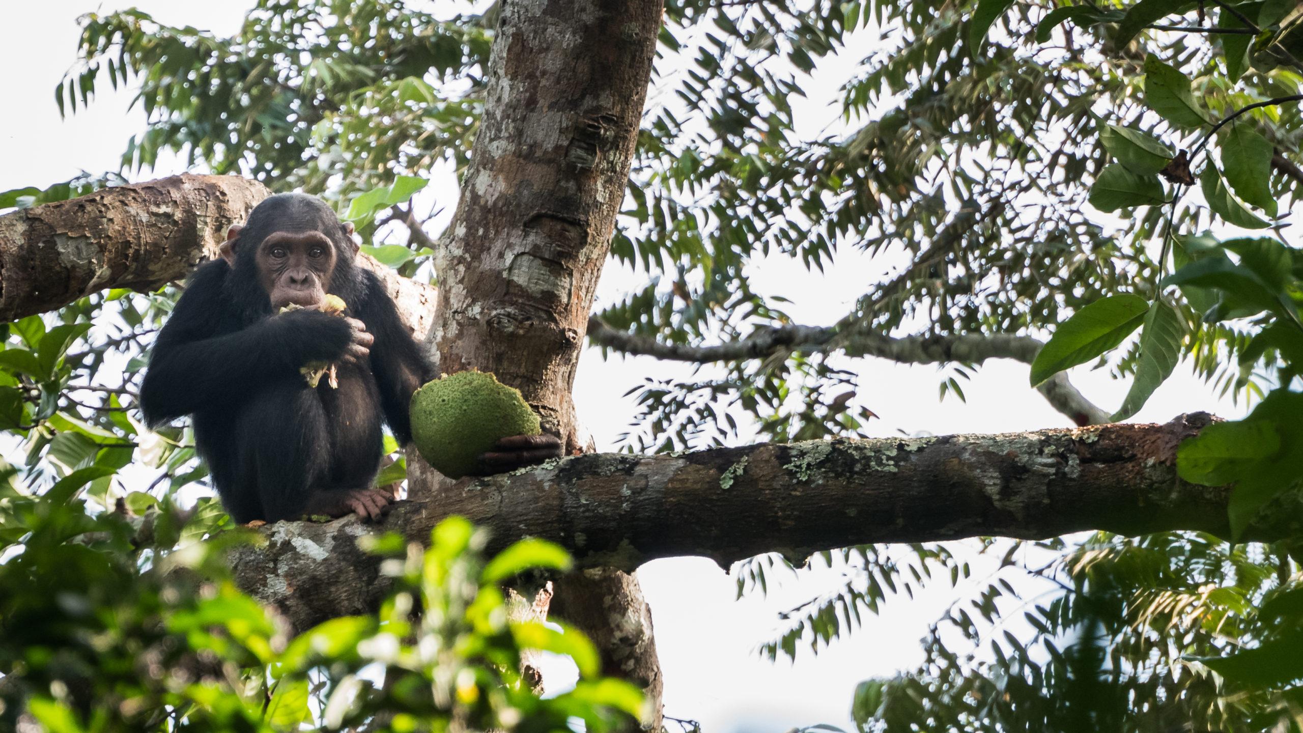 Les chimpanzes D'Odzala