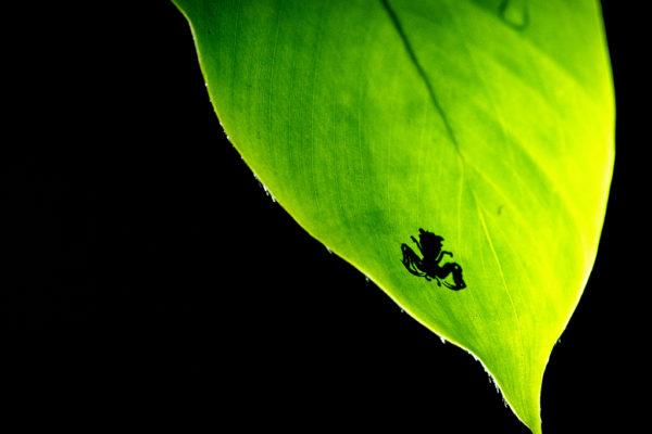 CCC-Ngaga-insect-leaf
