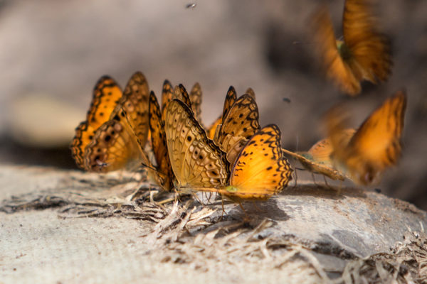 CCC-Ngaga-orange-butterflies
