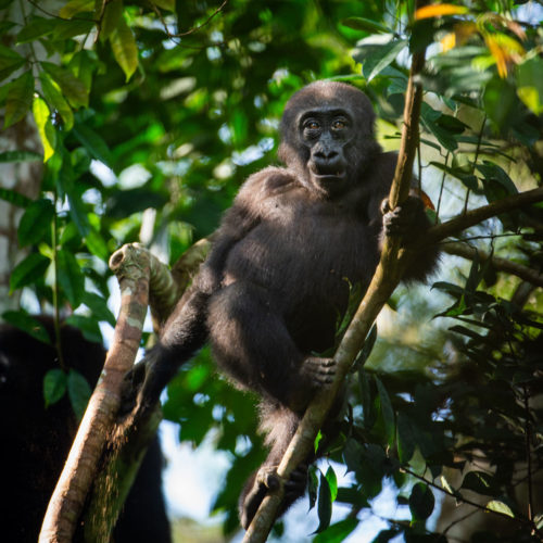 Western Lowland Gorilla in the trees