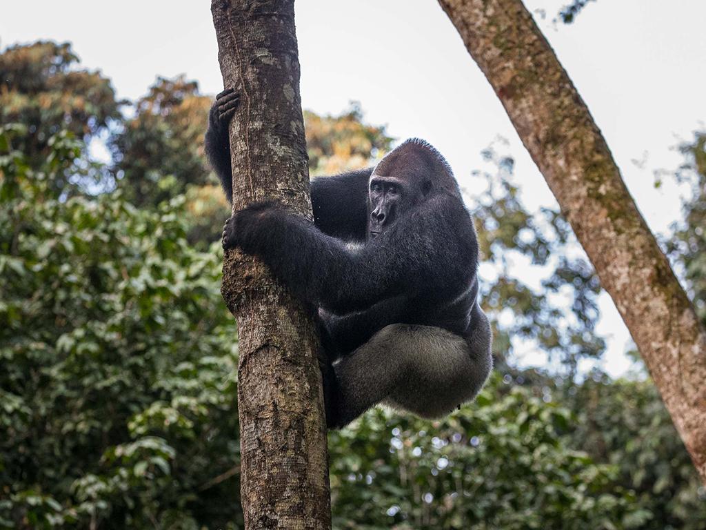 Gorilla treks in the Congo