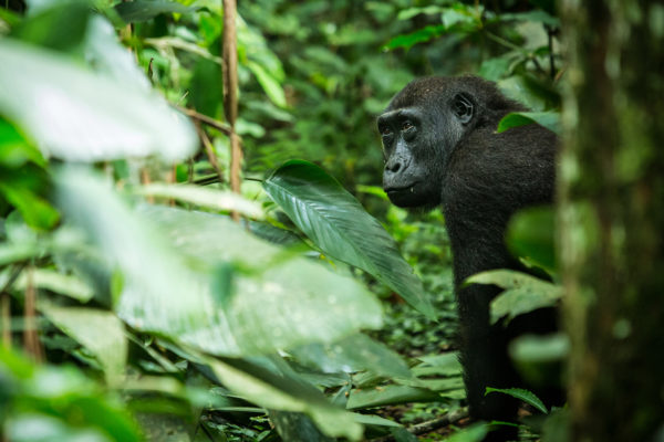 congo-conservation-company-gallery-banner-gorilla