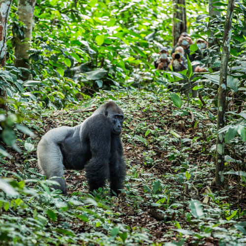 Western Lowland Gorilla Tracking