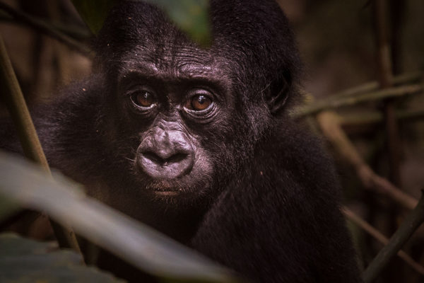 congo-conservation-company-gorilla-tracking-gallery-11