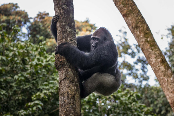 congo-conservation-company-gorilla-tracking-gallery-13