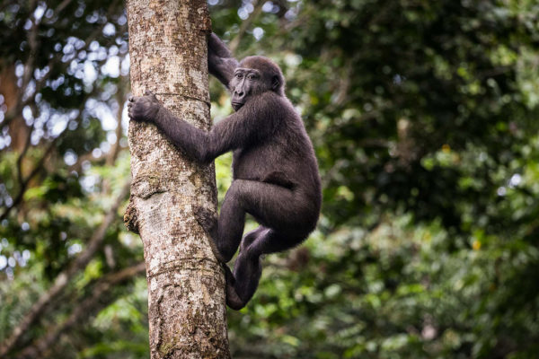 congo-conservation-company-gorilla-tracking-gallery-14
