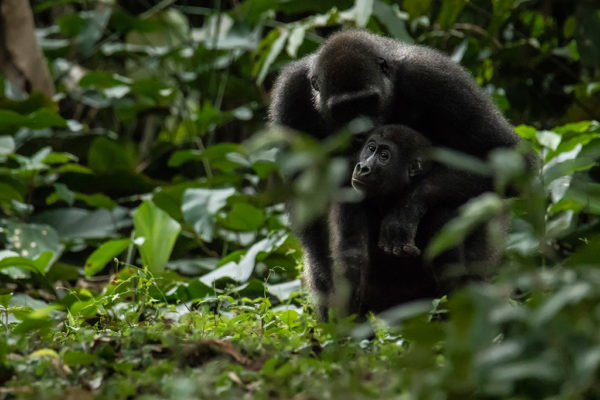 congo-conservation-company-gorilla-tracking-gallery-17