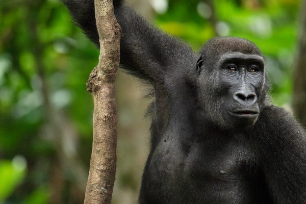 congo-conservation-company-gorilla-tracking-gallery-18