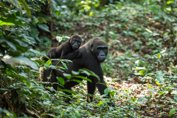 congo-conservation-company-gorilla-tracking-gallery-2