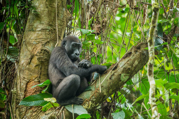 congo-conservation-company-gorilla-tracking-gallery-3