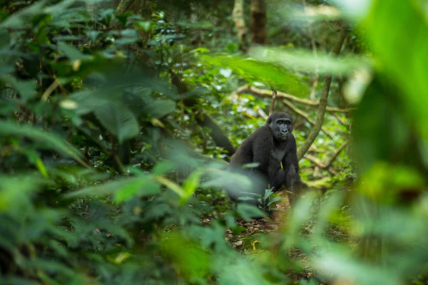 congo-conservation-company-gorilla-tracking-gallery-4