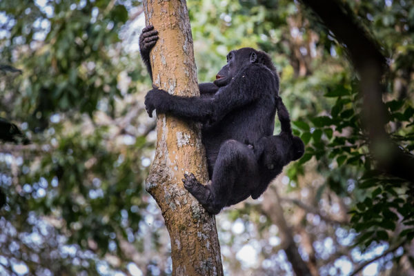 congo-conservation-company-gorilla-tracking-gallery-7