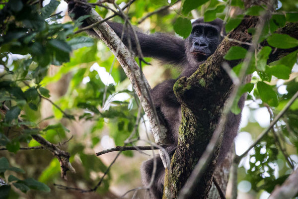 congo-conservation-company-gorilla-tracking-gallery-8