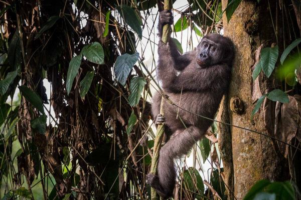 congo-conservation-company-gorilla-tracking-gallery-9