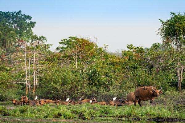 congo-conservation-company-lango-camp-forest-buffalo