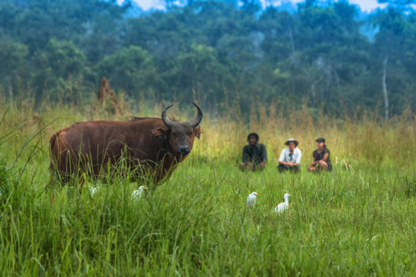 congo-conservation-company-mboko-camp-guests-forest-buffalo