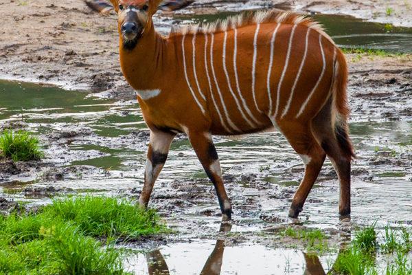 congo-conservation-company-sangha-lodge-bongo-2