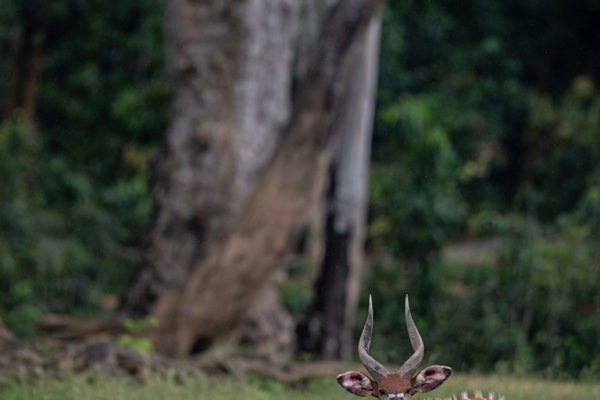 congo-conservation-company-sangha-lodge-bongo