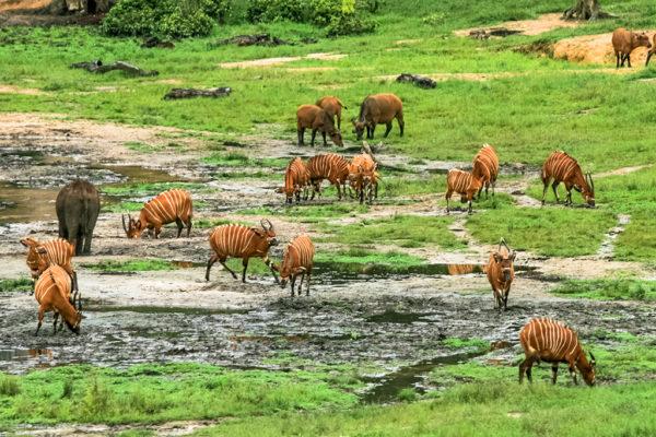 congo-conservation-company-sangha-lodge-bongo-buffalo