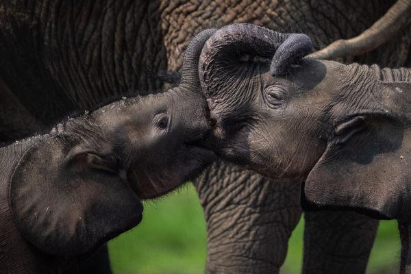congo-conservation-company-sangha-lodge-elephant-babies