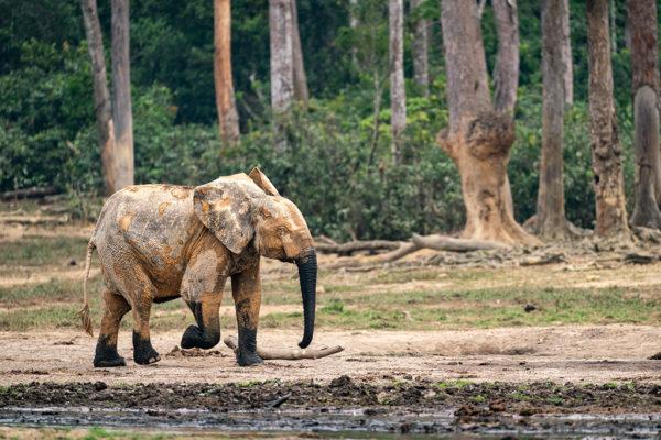 congo-conservation-company-sangha-lodge-elephany-bai