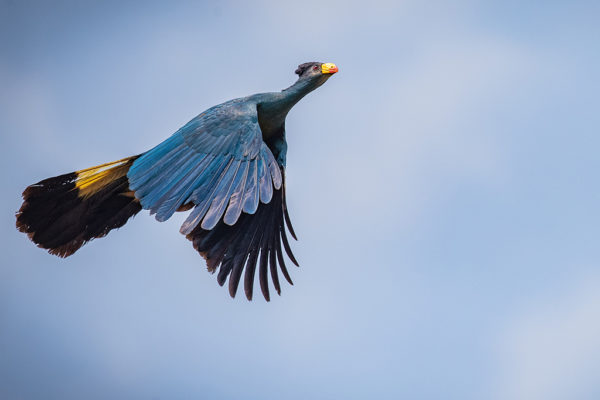 congo-conservation-company-sangha-lodge-great-blue-turaco