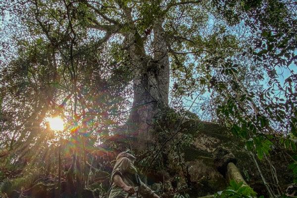 congo-conservation-company-sangha-lodge-tree