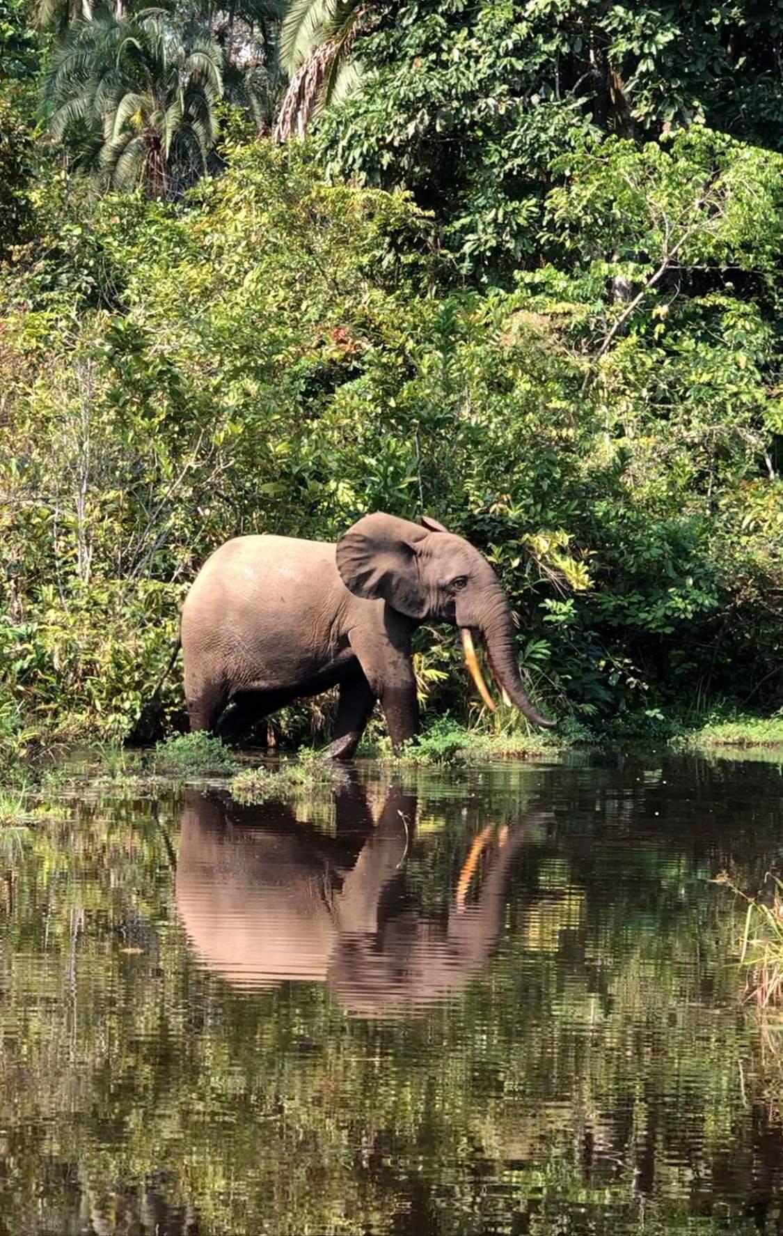 L'Eléphant de Forêt